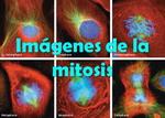 Imágenes microscópicas de la mitosis