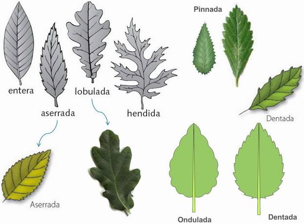 I e s poeta claudio rodr guez for Tipos de hojas ornamentales