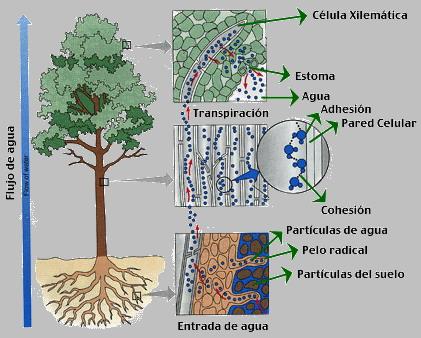 Resultado de imagen de transporte savia árboles